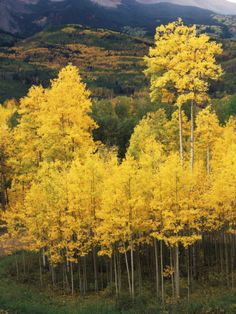 View of Autumn Aspen Grove on Mountain, Telluride, Colorado, USA by Stuart Westmorland To stand beneath aspen trees and hear that incredible sound. Telluride Colorado, Colorado Usa, Visit Colorado, Lawn And Landscape, Beach Landscape, Yard Care, Aspen Trees, Be Natural, Nature Photography