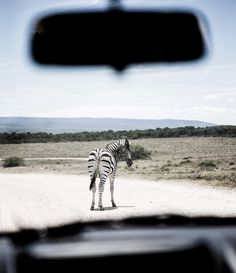 A zebra turning around to confront the vehicle Zebras, Turning, Nature Photography, My Photos, Vehicle, Africa, Car, Animals, Automobile