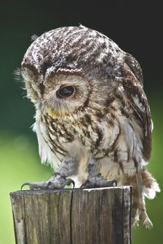 Barred owl on a stump Nature Animals, Animals And Pets, Baby Animals, Cute Animals, Beautiful Owl, Animals Beautiful, Strix Aluco, Tawny Owl, Photo Animaliere