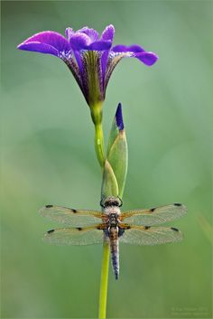 purple flower and dragonfly