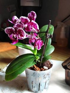 Happy Mini Teacup Orchid Repotted