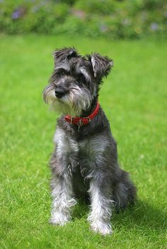 Boyo by Lock62 #Miniature #Schnauzer