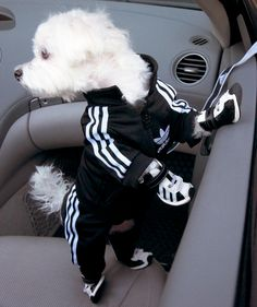 Kate - Lupe & Jorge need matching ones. Lol  Adidas Track Suit For Your Pooch (with little sneakers too!)  #dogs #cute  My parent's dog Bo needs this!!! He LOVES his leather jacket!! too funny