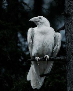 White crow Best Picture For albino animal half For Your Taste You are looking for something, and it The Crow, Beautiful Creatures, Animals Beautiful, Choucas Des Tours, Mountain Ash Tree, Funny Bird, Animals And Pets, Cute Animals, Art Blanc
