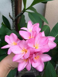 "Frangipani  (a/k/a Plumeria).   ""Stunning Pink NOID."""