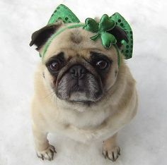 Cute Pug St. Patrick's Day Holiday Costume