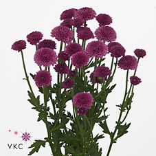 Masai is a purple variety of miniature santini chrysanthemums. 2018 Wedding Trend: Ultra Violet Purple. For lilac and purple wedding flowers to suit your colour scheme, visit our website at www.trianglenursery.co.uk/fresh-flowers!