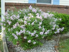 Lilacs - mini