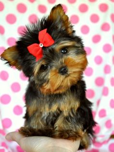 Tiny Teacup YorkieStunning Perfection!!Amazing Lush Coat!Perfect Teddy Bear Face!Tiny, Tiny, Tiny!!18 oz at 12 weeks!AKC Champion PedigreeSold Found Loving New Family