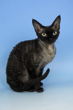 Devon Rex Cat  -low shedding -hypoallergenic -velvety soft