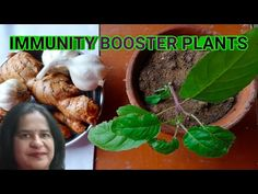 Most effective immunity booster plants video||How to boost your immunity naturally. - YouTube Medicinal Plants, Youtube, Healing Herbs, Herbs