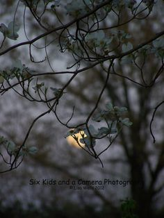 Moon Dogwoods Night Photography Tennessee by sixkidsandacamera, $50.00