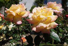 rose_mme_a_meilland_5