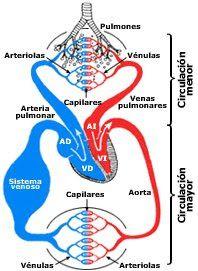 Sistemas Biológicos: Circulación mayor y menor.