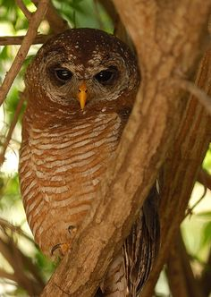 African Wood Owl (Strix woodfordii)