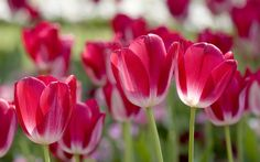Best Spring Flowers Nature Wallpapers For Iphone