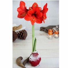Flowering amaryllis - Ideal romantic gift - romantic and effortless - Wrapped in tissue paper - Heart patterned - Easy care, Air plant - For him, her, friend. Air Plants, Garden Plants, House Plants, Bulb Flowers, Large Flowers, Sutton Seeds, Amaryllis Bulbs, Retirement Gifts For Women, Christmas Garden