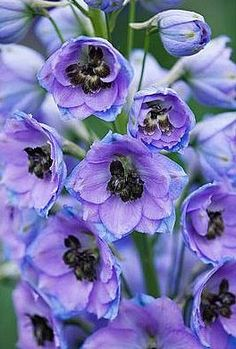 My Delphiniums in No. Ogden grew to over five feet.  They were spectacular!  sigh... I miss them.  Oh, well... I'll find a spot for a plant or two at the Pines.  (I hope)