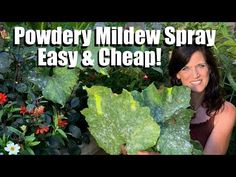 Easy, Inexpensive Powdery Mildew Spray for Squash & Cucumbers, Prune Leaves to Keep Production Going Home Grown Vegetables, Growing Vegetables, Organic Gardening, Gardening Tips, Kitchen Gardening, Powdery Mildew Treatment, Growing Greens, Backyard Vegetable Gardens, Natural Garden