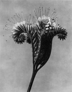 Title: Lacy Phacelia I Flower. About the Photographer:An artist, teacher, sculptor and photographer from Germany, Karl Blossfeldt – worked in Berlin. He was inspired by nature and reflected this muse in his close-up photography of plants. Karl Blossfeldt, Natural Form Art, In Natura, White Plants, Fine Art Photo, Flower Photos, Botanical Art, Graphic, Art Forms