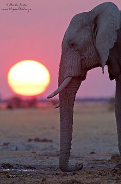 By pressing their trunks to the ground elephants can pic up low-frequency rumbles from as far as 10 km.