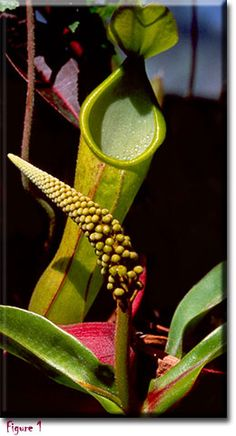 Nepenthes or Pitcher Plant