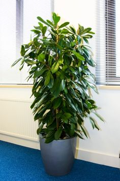 Ficus cyathistipula in Andover office - lots of greenery for your money