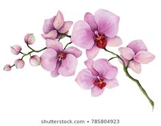 Find Watercolor Orchid Branch Hand Drawn Floral stock images in HD and millions of other royalty-free stock photos, illustrations and vectors in the Shutterstock collection. Watercolor Orchid Tattoo, Orchid Drawing, Watercolor Flowers, Watercolor Paintings, Orchid Flower Tattoos, Orchids Painting, Illustration Blume, Purple Orchids, Floral Illustrations