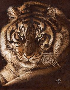 Tiger 1. Pyrography on Paper. Clive Smith.
