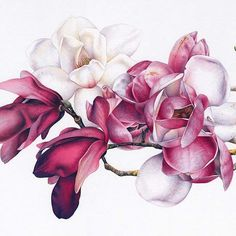 Pink Magnolias in watercolor