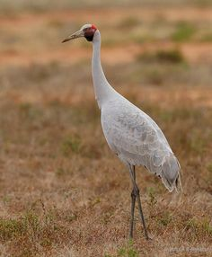 The Brolga (Grus rubicunda) is a native crane that is known for is elaborate courtship dance. They are found mostly in the northern half of Australia but have been found as far south as Victoria. Brolgas do not migrate seasonally. Shoebill, Native Australians, Australia Animals, Australian Birds, Shorebirds, Backyard Birds, Sea Birds, Long Legs, Bird Art
