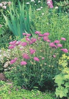 """PINCUSHION Pink Mist Scabiosa columbaria 'Pink Mist' Height: 16-20"""" Spread: 12-18"""" Flowers: Pink Blooms: 8-12 weeks, starting late June Zone: 3-7 Soil: Does well in most conditions Additional Information: Deadhead to produce more blooms. Try planting with Artemisia, Lamb's Ear, Shasta Daisy. Full sun/part sun. Scabiosa Columbaria, North Facing Garden, Low Maintenance Plants, Lambs Ear, Perennials, Mists, Wild Flowers, Lush, Daisy"""