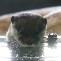 Human-otter staring contest in three... two... - January 2, 2020