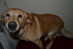 Dog left at animal control when his family was forced to move. Spike saved a little boy from a house fire and yet his family abandons him to a shelter when they move. Please help Spike find a forever home where his devotion will be appreciated! :'(