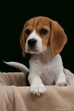 Beagle in a Box | Flickr - Photo Sharing!