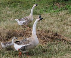 Chinese Geese #Chinese #Geese  #Höckergans Bird Watching, Chinese, Animals, Animales, Animaux, Animal, Animais, Chinese Language