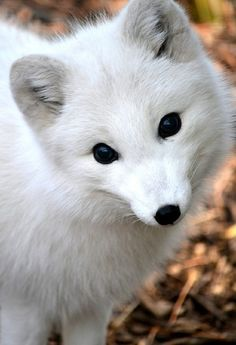 Beautiful white artic fox