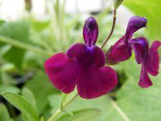 Frank's Salvias - Salvia 'Nachtvlinder' - Salvia nemorosa 'Morgenröte'