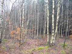 Birch Trees in the Ardennes