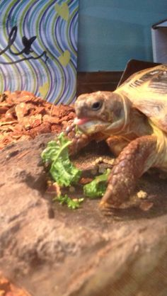 How to Take Care of a Russian Tortoise: 8 Steps (with Pictures) Tortoise Habitat, Young Animal, Tortoises, Little Pets, Pet Care, Pictures, Sulcata Tortoise, Horsefield Tortoise, Tortoise Table