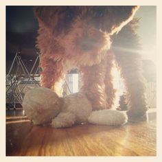 Miniature Apricot Poodle.  Leo ♥s Teddy Pendergrass.  Leo ♥s life. Leo ♥s Brooklyn.