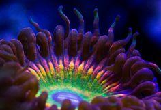 Amazing macro shot of Zoanthid Coral