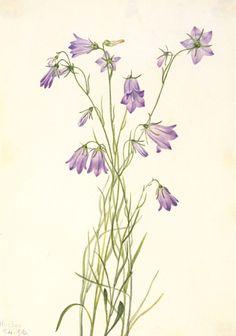 Harebell (Campanula rotundifolia) by Mary Vaux Walcott / American Art