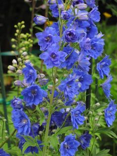 Gardening Obsession: Delphinium 'Magic Fountains