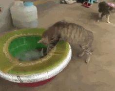 La curiosidad mató al gato. Cuidado con los pulpos, amigos felinos