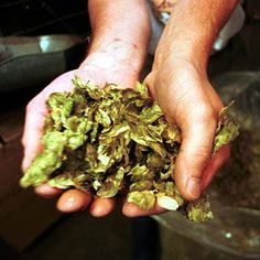 hand filled with cascade hops