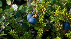 ビルベリー【Bilberry】 血行の改善を目的として北ヨーロッパを中心に使用され、ビルベリーの葉から作るお茶は糖尿病を治療する為の民間療法として、またその穏やかな効き目は子供の吐き気や嘔吐、胃のけいれんにも使われてきました。ビルベリーに多く含まれる青色色素であるアントシアンはストレスや年齢からくる体の酸化を防ぎ脳機能と目の健康を維持するのに役立っています。#アロマ、#精油、#エッセンシャルオイル、#アロマレシピ、#アロマテラピー、#ハーブ、#ガーデニング もっと詳しく→ shizenryouhou.com/wp/