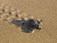 Baby Loggerhead Sea Turtle, Akamas, Cyprus