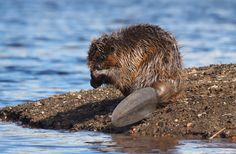 From their vanilla-scented secretions to their amazing ability to alter an ecosystem, here's what you need to know about beavers.