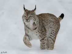 Photograph Snow Walk from Lynx by Claudia Brockmann on 500px